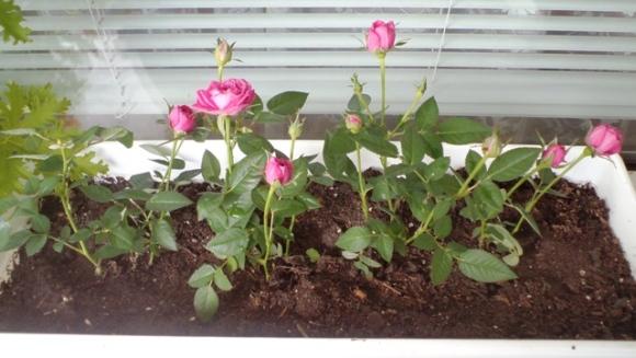 Розичките, които ми подариха - новодомци на моята тераса :)