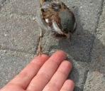 vrabche